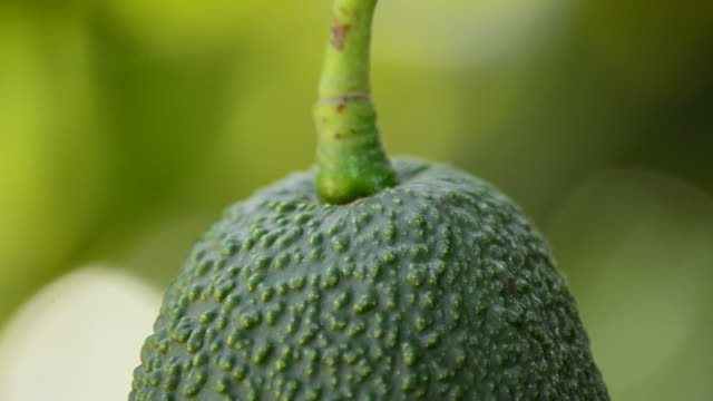 Hass avocado hanging in close up video