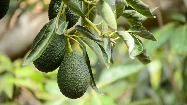 Hass avocados fruit hanging at tree video