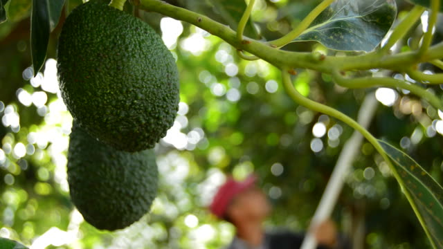 Hass avocados hanging at branch in fruit harvesting video
