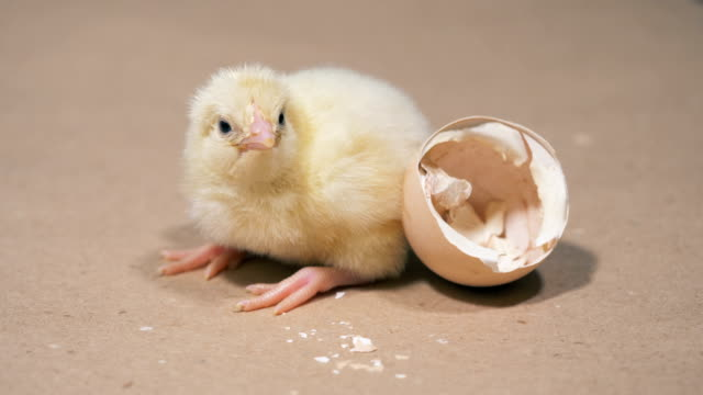 Hatched chicken is near an eggshell, close up. Chicken hatching from egg at a farm.
