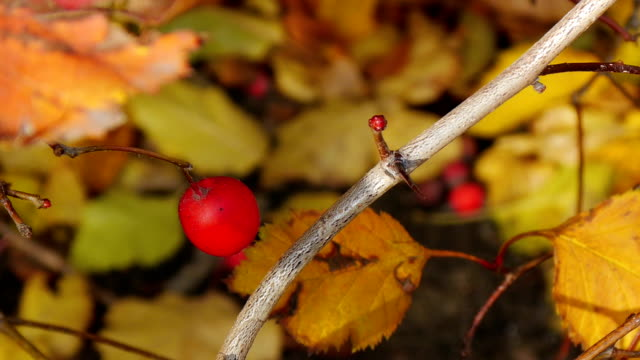 Haw berry video