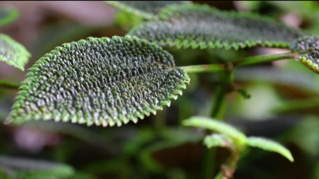 hawaii blume - endemisch stock-videos und b-roll-filmmaterial