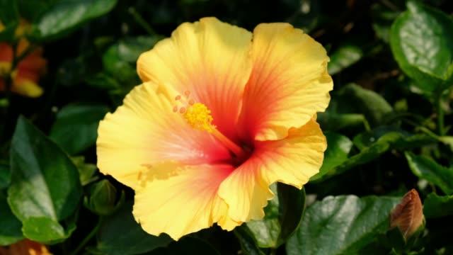Hawaiian hibiscus in the garden