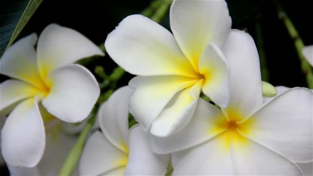 Hawaiian Plumeria flowers used to make aloha leis. video