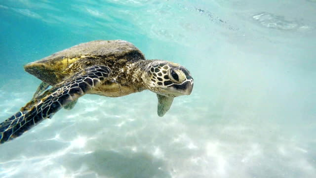 Hawaiian Sea Turtle video