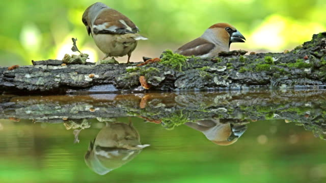 Hawfinch drinking water from forest pond and eating seeds. video