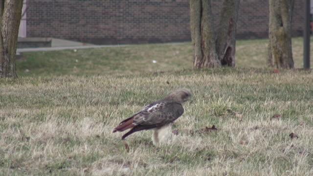 Hawk 3-9: HD 1080/60i Red tiled hawk on the grass during hunt hawk bird stock videos & royalty-free footage
