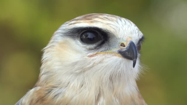 Hawk head Close-up hawk head falcon bird stock videos & royalty-free footage