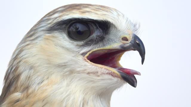 hawk head - uccello rapace video stock e b–roll