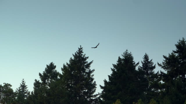 Hawk Soaring High in Grey Sky, Dark Tree Silhouettes Slow Motion Hawk Soaring High in Grey Sky, Dark Tree Silhouettes Slow Motion bird of prey stock videos & royalty-free footage