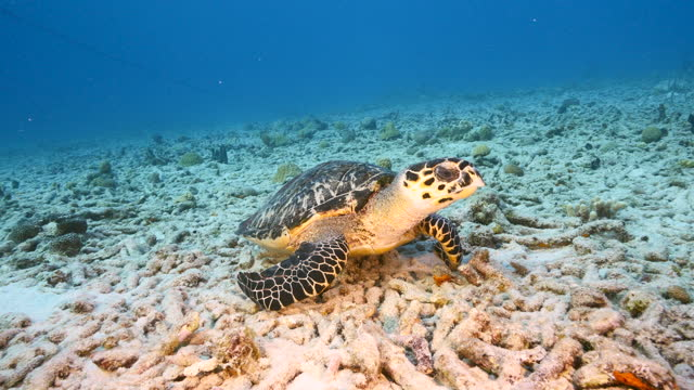 Hawksbill Sea Turtle at the coral reef in the Caribbean Sea around Curacao video