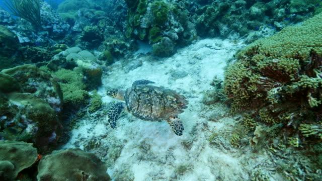 Hawksbill Schildkröten am Korallenriff in der Karibik auf Curacao – Video