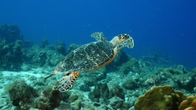 Hawksbill Sea Turtle at the coral reef in the Caribbean Sea around Curacao wideangel of Sea Turtle at scuba dive around Curaçao /Netherlands Antilles undersea stock videos & royalty-free footage