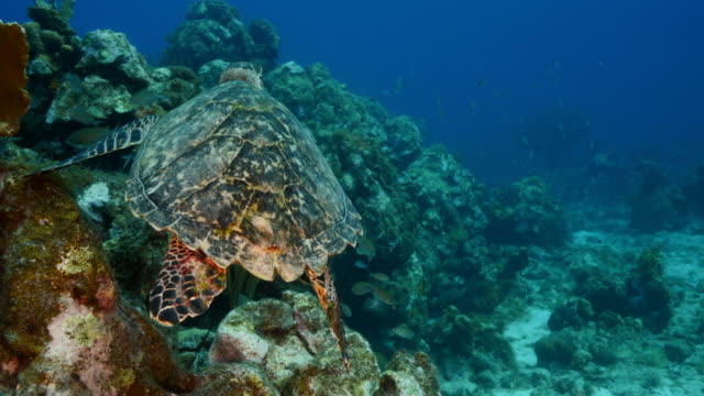 Hawksbill Sea Turtle at the coral reef in the Caribbean Sea around Curacao wideangel of Sea Turtle at scuba dive around Curaçao /Netherlands Antilles leeward dutch antilles stock videos & royalty-free footage
