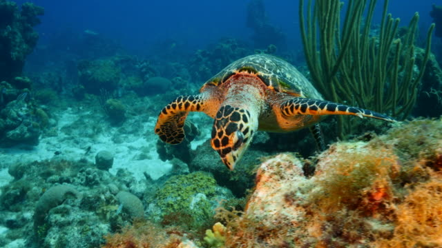 Hawksbill Sea Turtle at the coral reef in the Caribbean Sea around Curacao wideangel of Sea Turtle at scuba dive around Curaçao /Netherlands Antilles reef stock videos & royalty-free footage