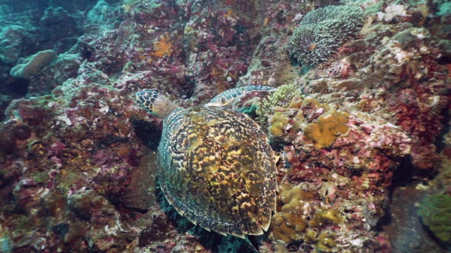 Hawksbill Sea Turtle (Eretmochelys imbricata) Critically Endangered species underwater