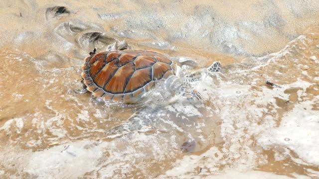 vidéos et rushes de caret (tortue de mer autorisation de la mer d'andaman, dans l'île de phuket - mer d'andaman