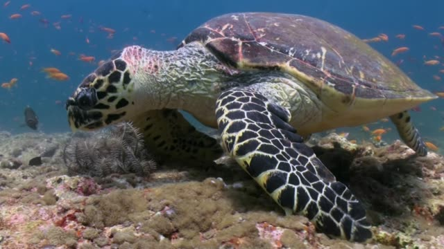 Hawksbill sea turtle swimming eating on coral reef Hawksbill sea turtle swimming eating on coral reef. Amazing, beautiful underwater marine life world of sea creatures in Maldives. Scuba diving and tourism. indian ocean stock videos & royalty-free footage