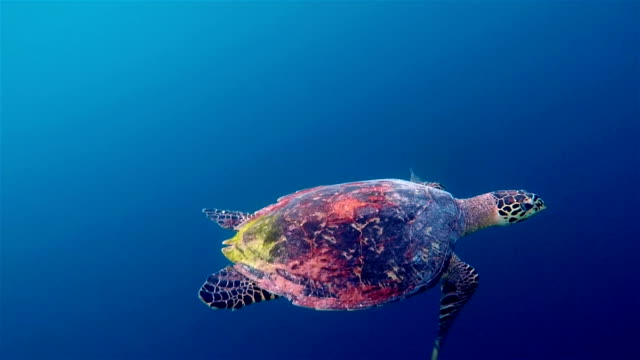 Hawksbill sea turtle swimming on deep blue Hawksbill sea turtle swimming Undersea on Maldives. reptile stock videos & royalty-free footage