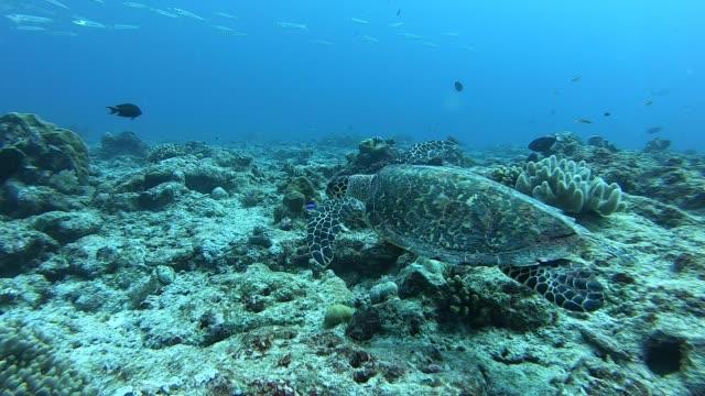 vídeos y material grabado en eventos de stock de tortuga carey en el mar. - palaos