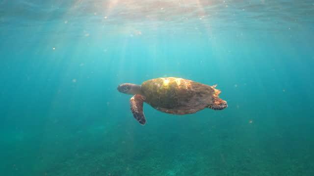 vidéos et rushes de tortue hawksbill nageant dans la mer d'eau peu profonde - coquille et coquillage