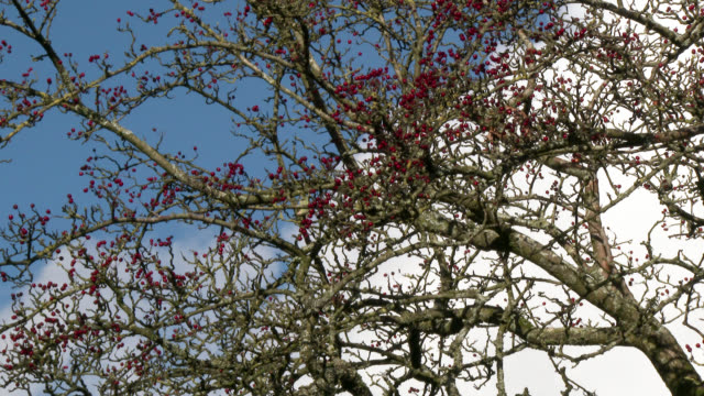 Hawthorn berries in Dumfries and Galloway south west Scotland