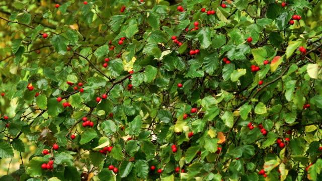 Hawthorn berries in the garden video