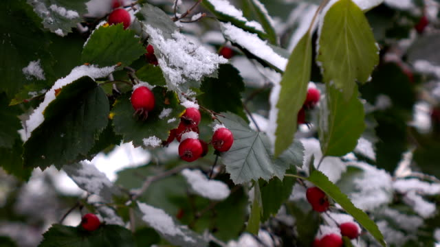 hawthorn berries in the snow 1 video