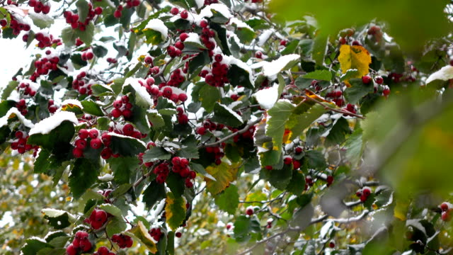 hawthorn berries in the snow 2 video
