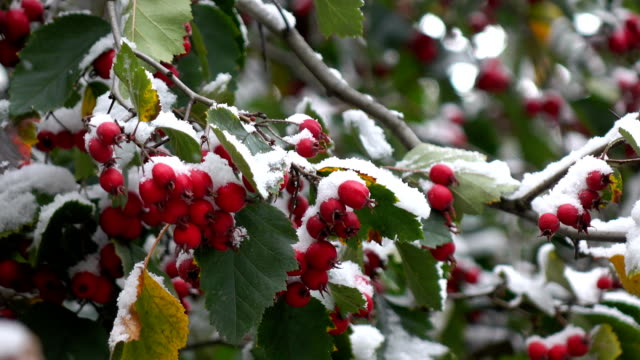 hawthorn berries in the snow 4 video