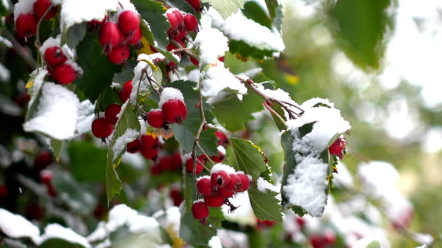 hawthorn berries in the snow 5 video