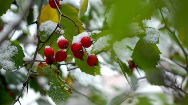 hawthorn berries in the snow video