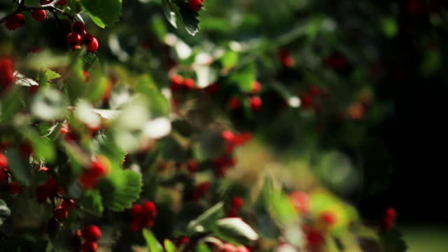 Hawthorn berries on a branch on a summer day. Close-up view of red berries of hawthorn on bush video