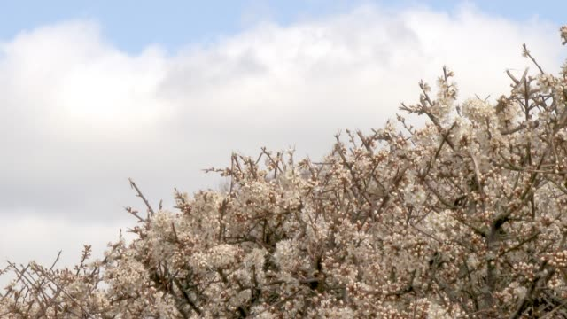 Hawthorn flowers in full bloom on a hedge in Dumfries and Galloway