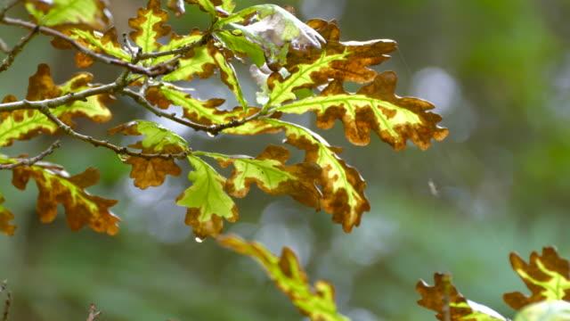 Hawthorn leaves in detail video