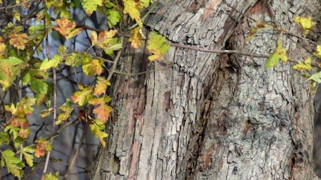 Hawthorn leaves rustle in the wind (Crataegus monogyna) video
