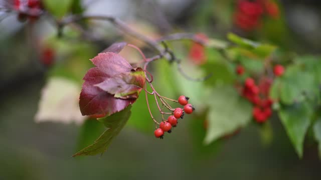 Hawthorn medicinal plant with berries