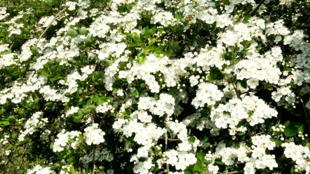 Hawthorne blossom, (Crataegus monogyna). video