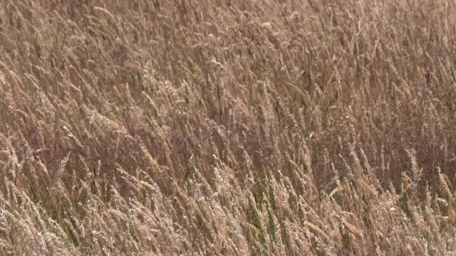 Hay field swaying in the wind A hay field in rural south west Scotland plant part stock videos & royalty-free footage
