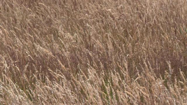 stockvideo's en b-roll-footage met hay veld zwaaiend in de wind - plantdeel