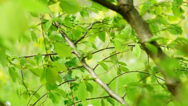 Hazelnut bush in the farm garden