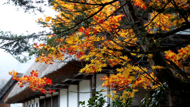 Hd MS : red maple leaves in autumn urban scene japan video