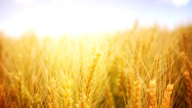 HD1080:Ripe wheat,closeup,static video