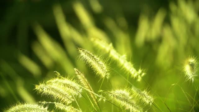hd :  추절 자연 자연스럽다 배경 기체상태의 잔디. 빛망울, 보케 잔디, 자연광 색상 톤 - 풀 벼과 스톡 비디오 및 b-롤 화면