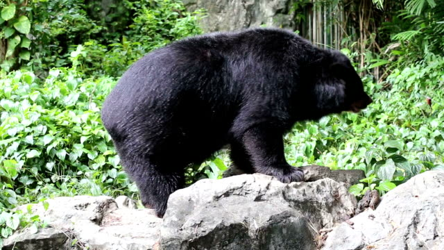 hd:bear dance - bear stock videos and b-roll footage