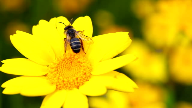 HD:Bee and flower video