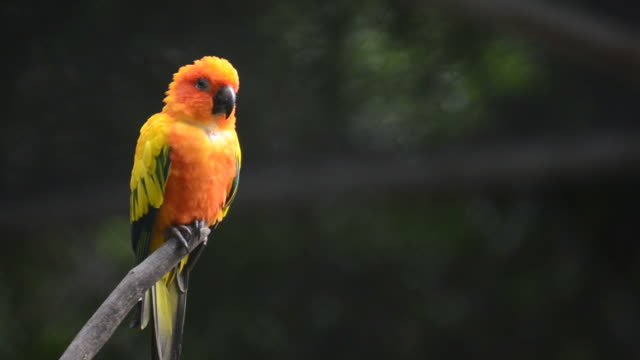 HD:Bird sun conure parrot video