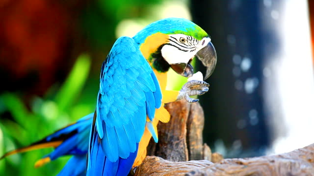 HD:Blue Macaws. video