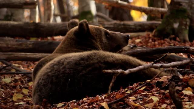 HD:Brown Bear video