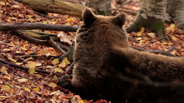 HD:Brown Bear video